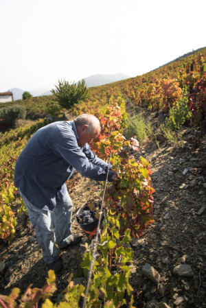 Grape Picking, Wine Making, Douro River Valley, Portugal